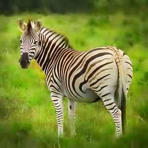 Little girl's fantasy zebra